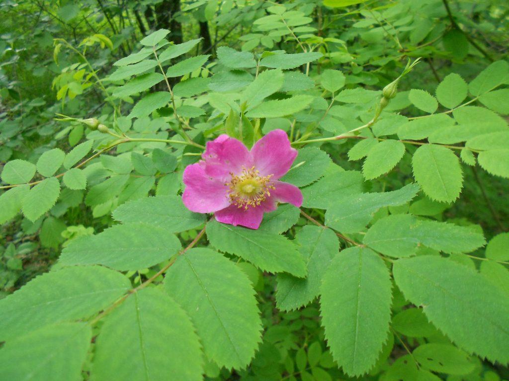Дивља ружа